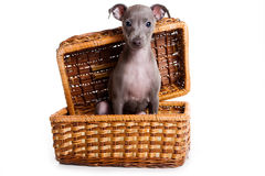 Italian greyhound puppy Stock Photos