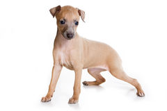 Italian Greyhound puppy Royalty Free Stock Photos
