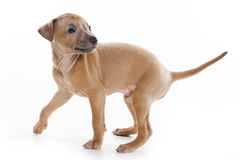 Italian Greyhound puppy Stock Images