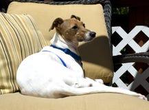Italian Greyhound resting. Italian Greyhound dog resting in chair Stock Photos