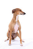 Italian Greyhound sitting aloof. Italian Greyhound dog sitting on a high key background and looking aloof stock photography