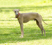 Italian Greyhound. A small fawn - brown italian Greyhound dog standing on the lawn. Grey hounds are very thin and have a slender structure making them look very royalty free stock photos