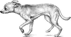 Italian greyhound. Vector drawing of a small purebred dog vector illustration