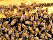 Italian Honey Bee Queen and Workers in Beehive. On Honeycomb laying eggs and attending the queen stock photography