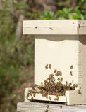 Italian honey bees and hive Royalty Free Stock Images