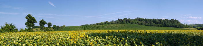 Italian landscape. Sunflower field and vineyard on the hills in Emilia-Romagna (Italy Royalty Free Stock Images