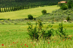 Italian landscape. A row of cypresses in a field in the Italian Umbria region Royalty Free Stock Photography
