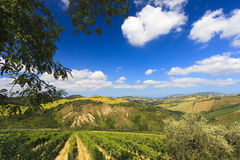 Italian landscape with vineyard in summer Stock Photos