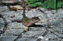 Italian Lizard Stock Images