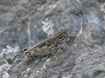 Italian Locust Stock Image