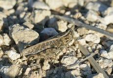 Italian Locust Royalty Free Stock Photo
