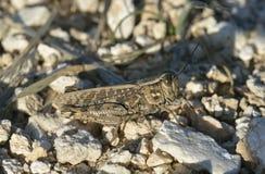 Italian Locust Stock Photo