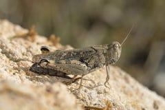 Italian Locust Royalty Free Stock Image