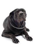 Italian mastiff Royalty Free Stock Photos