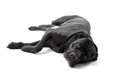 Italian mastiff. Beautiful purebred italian mastiff cane corso laid down on a white background royalty free stock images