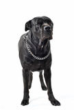 Italian mastiff. Portrait of a purebred black italian mastiff or cane corso in studio stock images