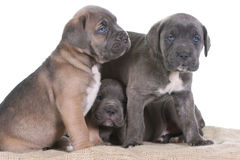 Italian mastiff cane corso Royalty Free Stock Photography
