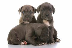 Italian mastiff cane corso Royalty Free Stock Photo