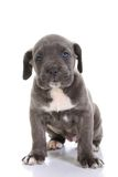 Italian Mastiff Cane Corso Stock Photography