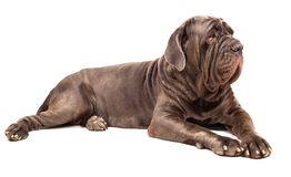 Italian mastiff cane corso. On white background royalty free stock photos