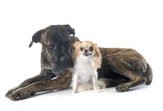Italian mastiff and chihuahua Stock Image