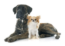 Italian mastiff and chihuahua Royalty Free Stock Images