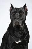 Italian mastiff dog portrait. On a grey background stock images