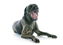Italian mastiff Royalty Free Stock Photos