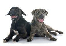 Italian mastiff Stock Images
