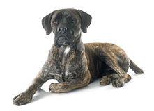 Italian mastiff. In front of white background royalty free stock images