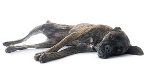 Italian mastiff. In front of white background stock images