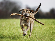 Italian mastiff Stock Image