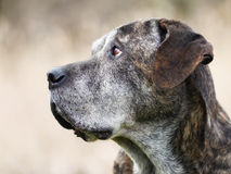 Italian mastiff. Mixed-bred dog, a mix of Cane Corso and Italian Mastiff royalty free stock photography