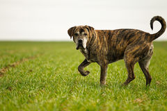 Italian mastiff. Mixed-bred dog, a mix of Cane Corso and Italian Mastiff stock photo