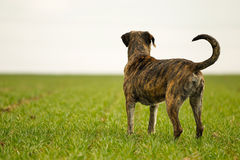 Italian mastiff. Mixed-bred dog, a mix of Cane Corso and Italian Mastiff stock image