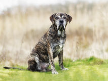 Italian mastiff. Mixed-bred dog, a mix of Cane Corso and Italian Mastiff stock photography