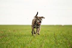 Italian mastiff Royalty Free Stock Photo