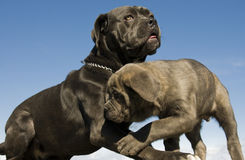 Italian mastiff mother and puppy royalty free stock photo
