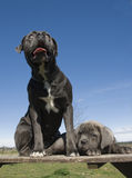 Italian mastiff mother and puppy Stock Images