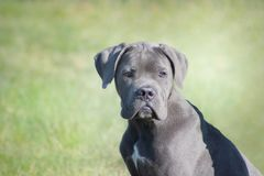 Italian mastiff puppy blue cane corso looking tender and attentive while sitting in the grass stock image