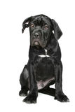 Italian mastiff puppy on a white background Stock Images