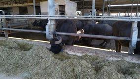 Italian Mediterranean buffaloes eating.