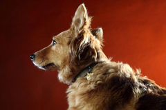 Italian mongrel dog 2491 Stock Photo