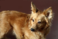 Italian mongrel dog 2474 Royalty Free Stock Photography