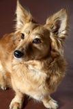 Italian mongrel dog 2477 Italian mongrel dog hair from the gold Stock Image