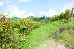 Italian mountain vineyard Stock Photography