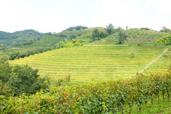 Italian mountain vineyard Royalty Free Stock Image
