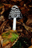 Italian mushroom coprinus picaceus Royalty Free Stock Image