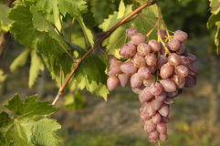 Italian muskateller grape during growing time Royalty Free Stock Photo