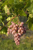 Italian muskateller grape during growing time Stock Photos